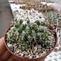 Mammillaria scrippsiana ssp. pseudoscrippsiana TL 971 Plan de Barrancas, Jal.