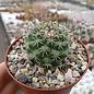 Mammillaria scrippsiana fa. JMC 6058 La Buenavista, Yonora- San Miguel de las Espinas, km 13, Dgo.