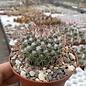 Mammillaria scrippsiana fa. LAU 1556 Los Bancos, Puebla Nuevo, Dgo.