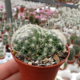 Mammillaria sp.n.  SB 827 Guayana