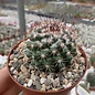Mammillaria scrippsiana ssp. pseudoscrippsiana GM 1260 Ixtlan del Rio, Nay.