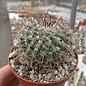 Mammillaria temorisensis  MH 18/92 Est. Temoris, Chih.