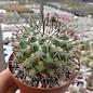 Mammillaria wagneriana  PN 603 Monte Escobedo-Huejucar, Km 10,5, Jal.