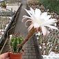 Echinopsis leucantha f. catamarca  Catamarca, Argentinien