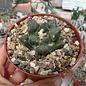 Ariocarpus fissuratus      CITES, not outside EU