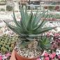 Aloe-Hybr. (descoingsii x rauhii) x brevifolia