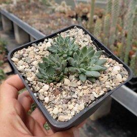 Orostachys fimbriata   Mongolei    (dw)