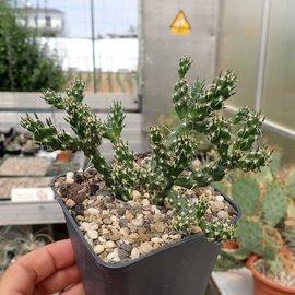 Cylindropuntia whipplei cv. Waiblingen 111      (dw)