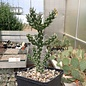 Cylindropuntia whipplei  DJF 167 Snowflake, AZ    (dw)