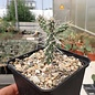 Cylindropuntia acanthocarpa   Mead View, AZ    (dw)