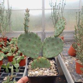 Opuntia engelmannii Hyb. Limes      (dw)
