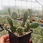Opuntia fragilis cv. Freising      (dw)
