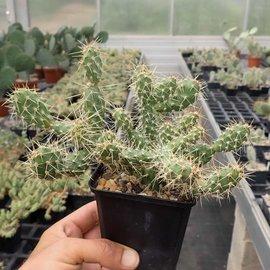 Opuntia fragilis v. sydowiana      (dw)