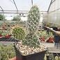 Opuntia hystricina  cv. Halle     (dw)