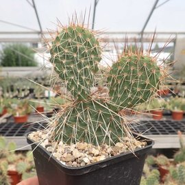 Opuntia hystricina cv. Hanau      (dw)