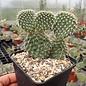 Opuntia hystricina  cv. Hamm     (dw)