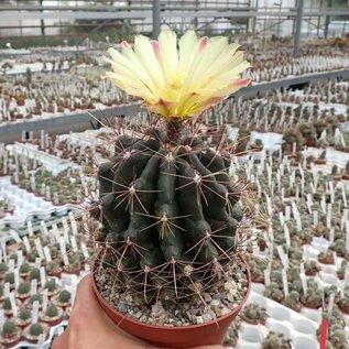 Hamatocactus hamatacanthus rubrispinus