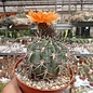 Acanthocalycium munitum  DH 010 Cerro Zorrito