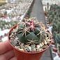 Thelocactus hexaedrophorus v. lloydii major HK 1608 San Luis Potosi, Mexico
