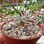Anacampseros quinaria ssp. alstonii      Red Flower