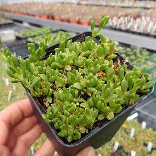 Delosperma nubigenum   Lesotho    (dw)