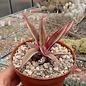 Cryptanthus bivittatus cv. Ruby Red