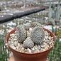 Austrocylindropuntia clavarioides cv. albispina