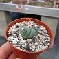 Echinocactus horizonthalonius   900m Nosera KMR 21 SLP