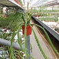 Aporophyllum-Hybr. Anette