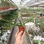 Aporophyllum-Hybr. Anastasia