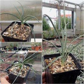Angebot winterharte Yucca (dw)