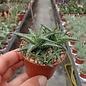 Aloe descoingsii    Madagaskar, Tulear, Kalkstein-Hügel   CITES, not outside EU