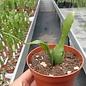 Disocactus biformis