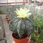 Astrophytum myriostigma fo. glabrum cv. Fukuryu