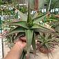 Gastrolea Gasteria croucheri x Aloe mitriformis