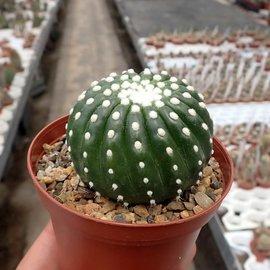Notocactus uebelmannianus cv. Inermis