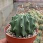 Ferocactus glaucescens cv. Nudum