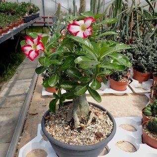 Adenium obesum cv. Picotee XL      with seasonal cutback