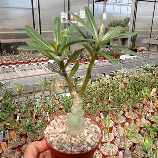 Adenium obesum cv. Joker   gepfr.