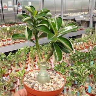 Adenium obesum cv. Simple Aubergine CC 04  gepfr.
