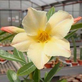 Adenium obesum cv. Simple Yellow CC 059  gepfr.
