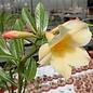 Adenium obesum Simple Yellow CC 059  gepfr.