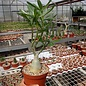 Adenium obesum cv. Simple Yellow CC 059  gepfr.