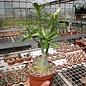 Adenium obesum Blush   gepfr.