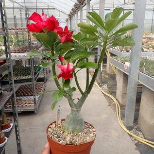 Adenium obesum cv. Andromeda   gepfr.