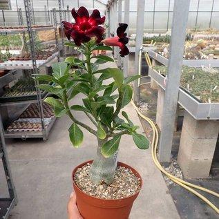 Adenium obesum cv. Burgundy Sunrise   gepfr.