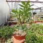 Adenium obesum cv. Heartfelt   gepfr.