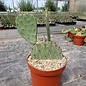 Opuntia cv. Große von Aldingen       (dw)