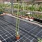 Euphorbia attastoma
