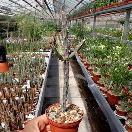 Euphorbia eyassiana